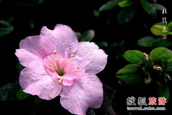 湖北省杜鹃花观赏好地 闲折二枝持在手