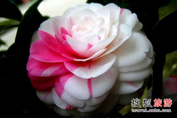江西省南昌茶花节 一花多色 姿态万千