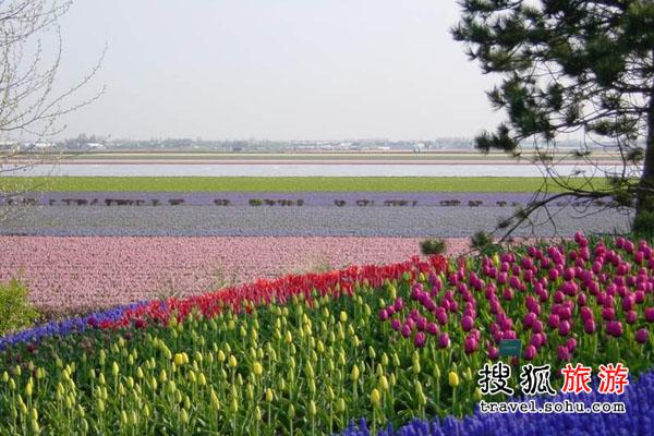 新疆省郁金香 戈壁上的鲜花点缀