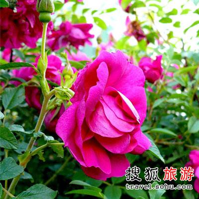 北京市 玫瑰飘香满山头