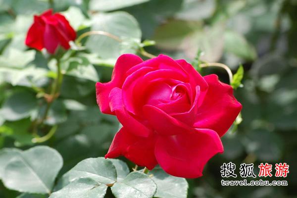 广东省 喜摘靓玫瑰