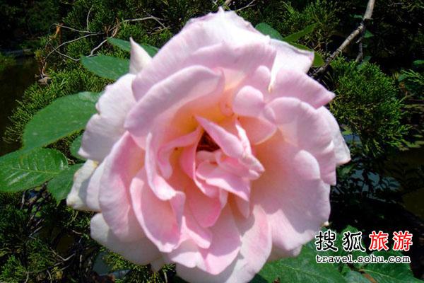 山东省 玫瑰之乡