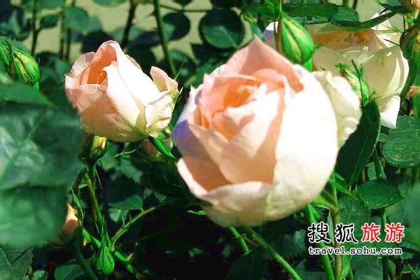 福建省 爱情天梯尽头摘玫瑰