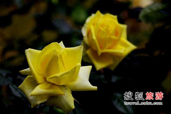江苏省 齐集世界玫瑰品种