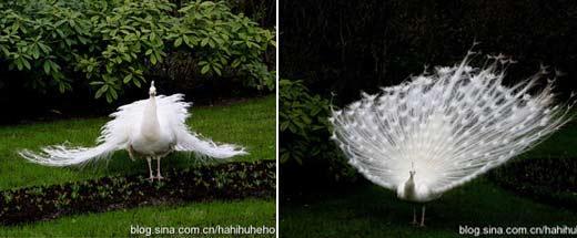 白色孔雀开屏