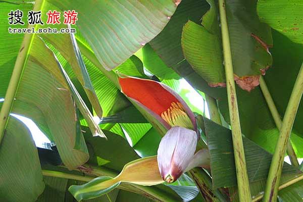 朴实的蕉花可以做出很多美味