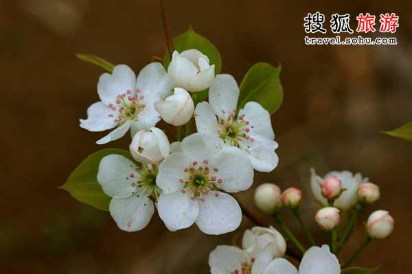 梨花与玫瑰 吃花吃出绿色心情