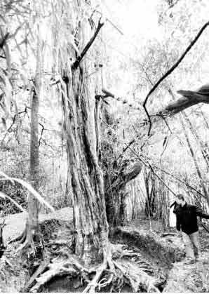 """福州 红豆杉/红豆杉的树根被挖空,整棵树""""悬空""""了"""