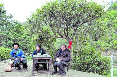 湖南现402岁茶树王 从 烂石 中长4米高图片
