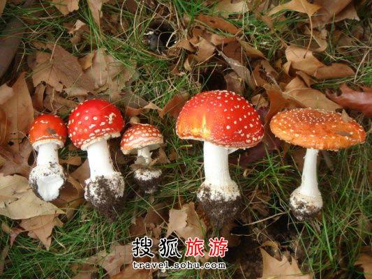 堪培拉城中花园生长的小蘑菇