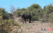 狂野非洲――狮牛搏杀目击记