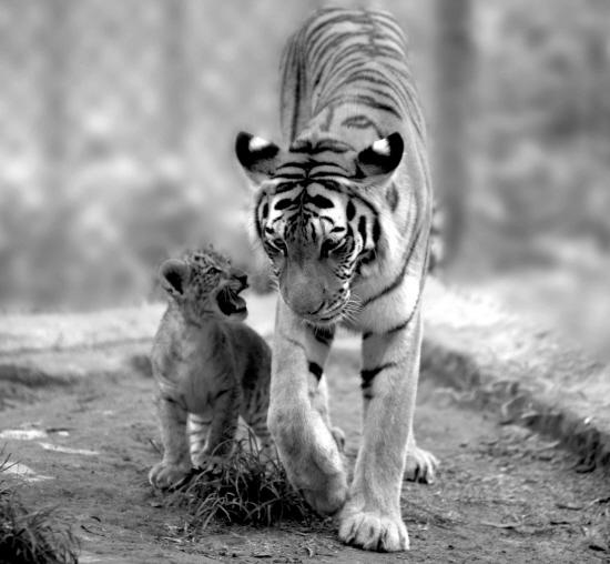 核心提示   狮虎兽是由公狮子和母虎交配产生的后代,同属于猫科的一员。狮虎兽其珍贵程度并不亚于大熊猫。据有关资料统计,目前世界上存在的狮虎杂交后代仅有20只左右,分别饲养在美国、法国、韩国和中国境内。而中国海南热带野生动植物园目前有10只狮虎兽,是世界上拥有狮虎兽最多的动物园。   狮虎兽是非常珍贵的动物   由公狮和母虎交配产生的后代,叫狮虎兽,公虎和母狮的后代则叫虎狮兽。狮子老虎虽然同属猫科豹属,但这样的种间繁育,受孕的成功率和后代的成活率都很低。为培育一只狮虎兽,法国人曾花费了数十年的时间和上亿