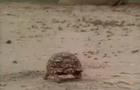 乌龟散步遇午睡狮群 惨遭母狮玩弄(组图)