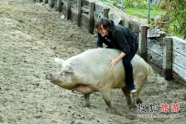 人猪摔跤谁能胜? 搜狐旅游