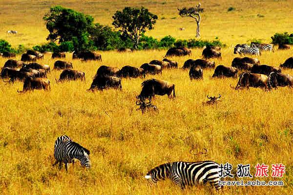 NO.1:斯里兰卡环岛游   行程:康提塞格瑞亚丹不拉滨纳瓦纳   大片大片的椰子林、潮湿的草地,一群大象在四处悠然自得地散落着。定睛仔细看才发现有的是跛脚象,有的是盲眼象,有的则是憨态可掬的幼象。原来这是政府特意为鳏寡孤独的大象们准备的托管所。   每天上午10点和下午2点,大象都会准时地出现在河里表演洗澡。几十头大象怡然自得,用鼻子卷起河水喷洒在自己或是同伴的身上,玩得很欢。大象总是满不在乎地摆着POSE准备与来客合影,倒是游客们小心翼翼地试探着摸摸这儿摸摸那儿,还不时被大象调皮的举动惊得