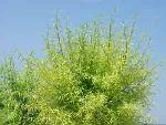 发出嫩芽的柳树