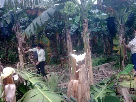 """不满官员对争议地的处理方式, 村民把""""十九亩六""""上的芭蕉全砍光"""