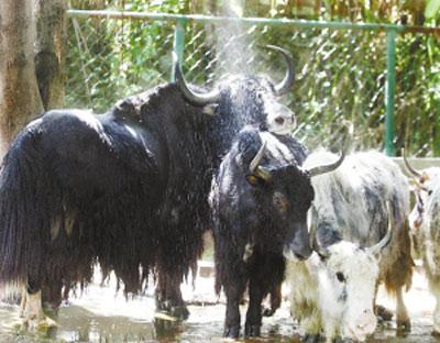 一群牦牛淋浴降温。
