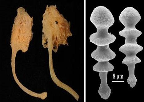 不像其他软体海绵动物,食肉海绵动物有刺一样的结构.
