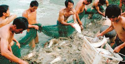 气温高了,鱼儿打起来也很难运到重庆