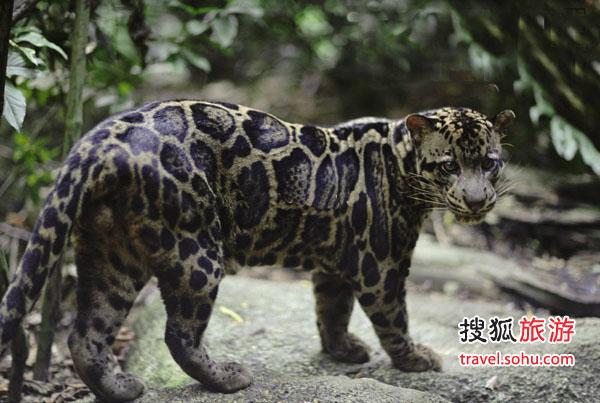 婆罗洲云豹