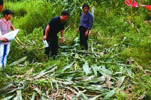 巴南接龙野猪猖獗毁坏玉米地(资料图片)