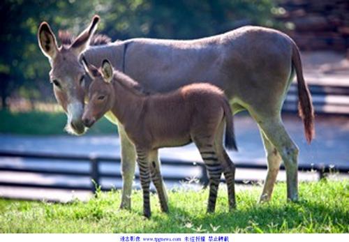 美国动物园斑马与驴跨种交配 诞生罕见斑驴宝宝