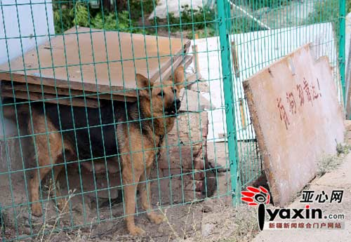 图为咬伤小男孩的大狼狗在狗窝内依然显得很强悍,狗窝周围留有大片的血迹。亚心网记者 张万德 摄