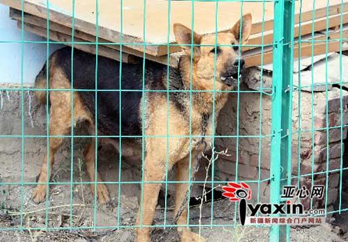 图为大狼狗依然很强悍,狗窝边的血迹清晰可见。亚心网记者 张万德 摄
