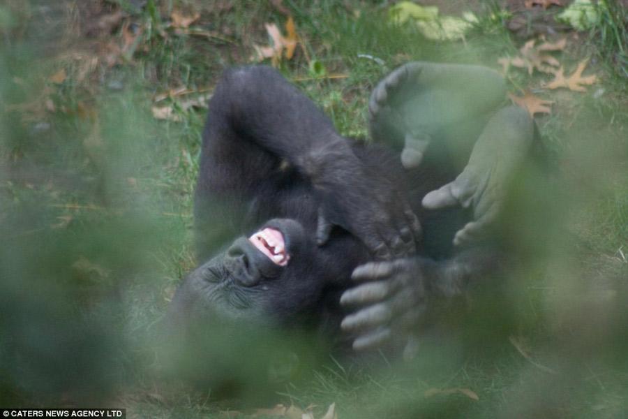大猩猩聊天笑的表情搞笑图片包咧嘴大笑表情图片