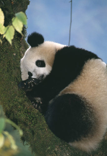 现在的大熊猫的臼齿发达