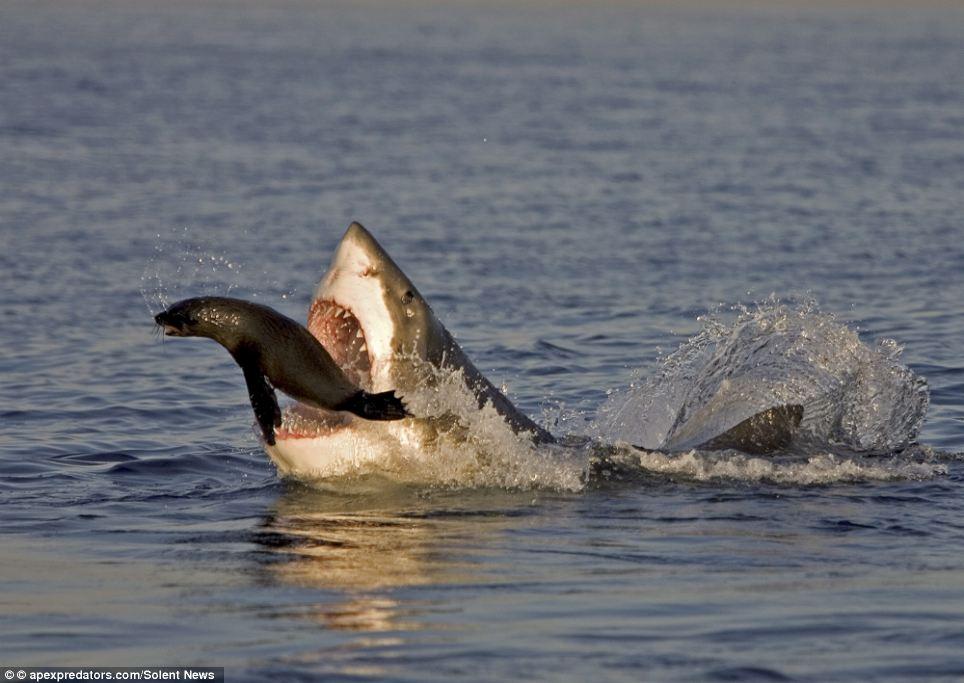 海豹鲨口脱险惊险瞬间:鲨鱼牙齿做跳板逃脱(图)-搜狐新闻