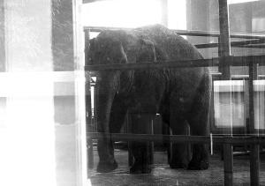 惹祸大象还在悠闲地迈着方步