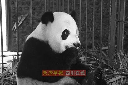 两岁熊猫从树上跌落一不小心摔昏54小时