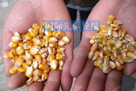 先玉335玉米(右边)会是引发动物异常的主要原因吗? 金微/摄