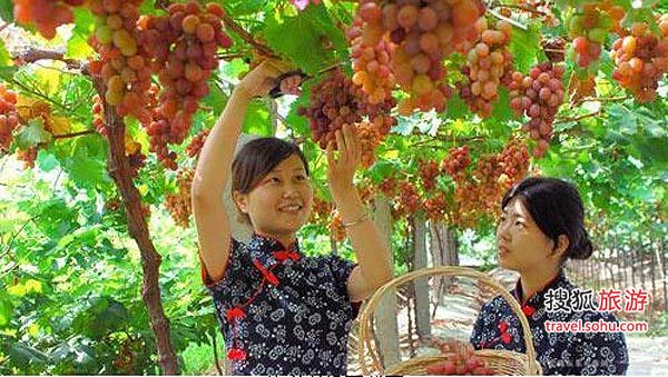 """葡萄/紫色秋天之梦葡萄大观园的""""怪""""葡萄..."""