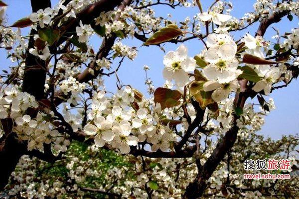 春天美轮美奂的梨花