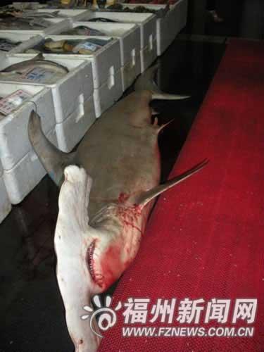 鱼叫双髻鲨,又名锤头鲨