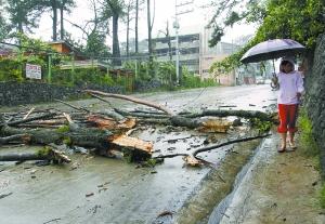10月18日,在菲律宾首都马尼拉以北的碧瑶,一名行人从被台风吹倒的大树旁走过。新华社/路透