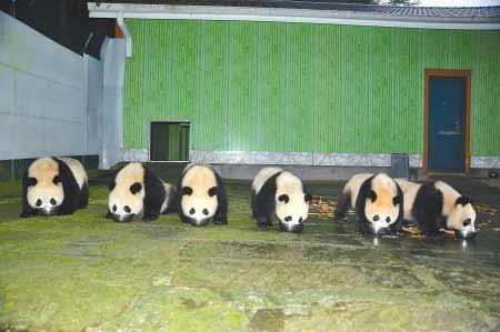 即将赴广州的6只大熊猫