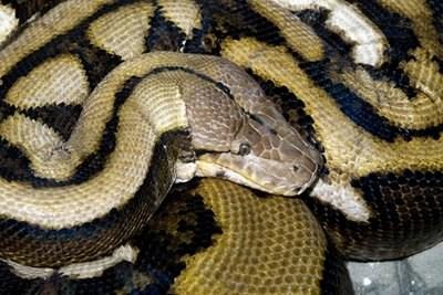 """动物 最长/名为""""绒毛""""的蟒蛇在动物园内"""