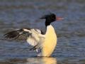 鸭绿江的精灵之谜:会上树的鸭子中华秋沙鸭