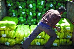 7月25日,张家口尚义县七甲乡,甲天合作社的农民在把早上收割的甘蓝装袋搬运到货车上。本报记者 王申 实习生 吕一品 摄