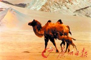 野骆驼需要得到关注和保护。 袁国映 摄