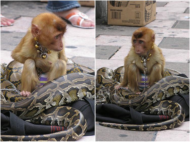 可怜!被蟒蛇包围的小猴子(组图)图片