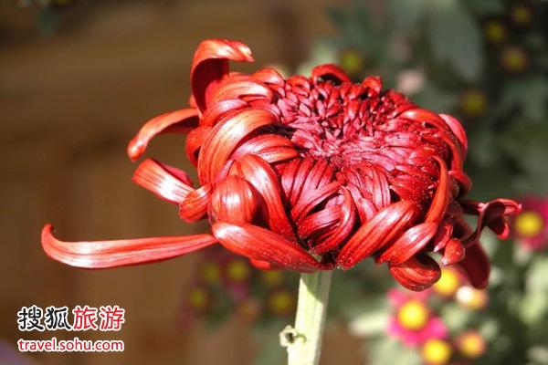 11月中旬 赏菊最佳