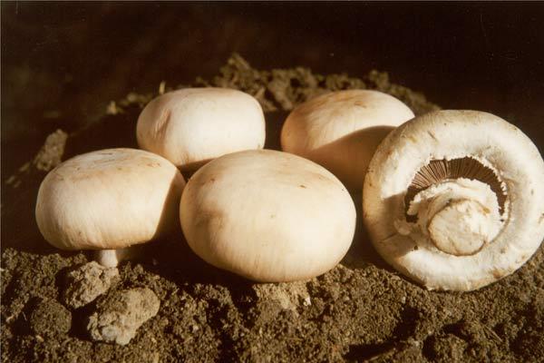 资料 图片 白 蘑菇 图 右 与 普通 蘑菇 对比 广西 ...