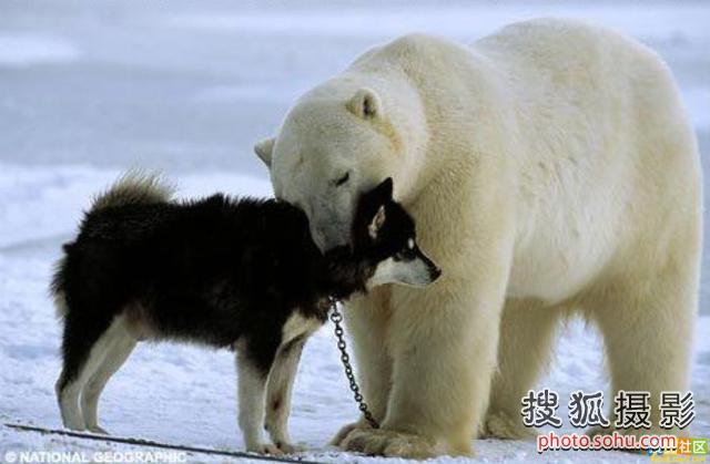 北极熊/摄影师拍下北极熊与雪橇犬化敌为友过程