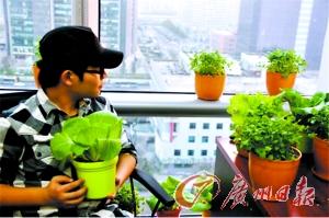 """CBD菜农""在办公室种菜。"