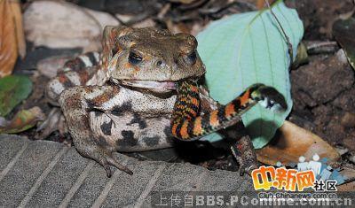 烟蛙吃蛇_组图:蛇吃蛇青蛙吃蛇奇观-搜狐新闻